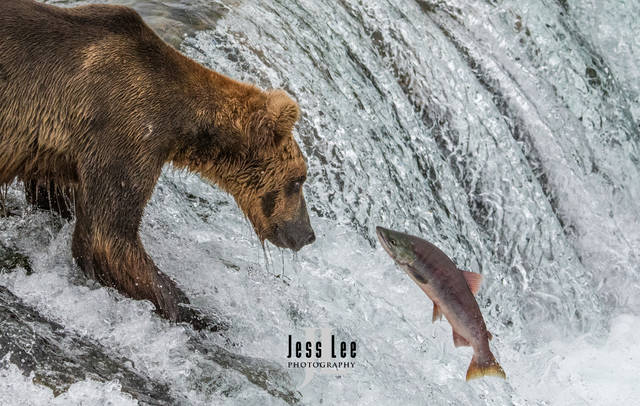 Alaska Bear Photography Workshops and Tour Fishing Bears