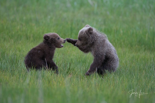Grizzly Cubs at play