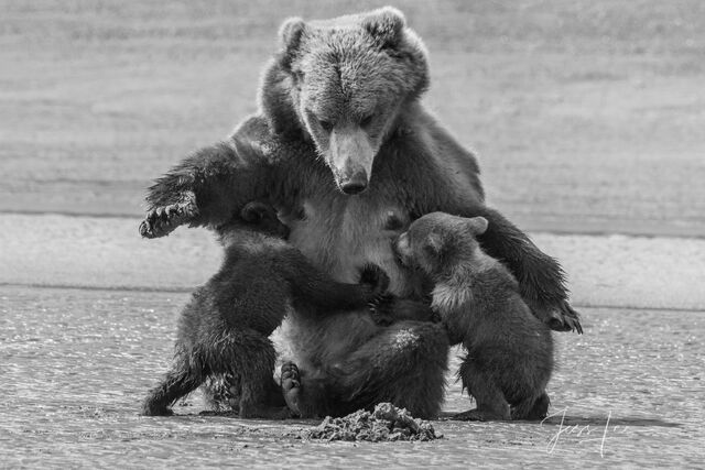 Grizzly, bear, Alaska, print, black and white,