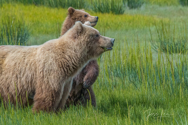 grizzly, beare, bears, brown bear, cubs, wildlife photographer famous, best, , Grizzly Bear Photograph, Grizzly bear picture, Grizzly bear print