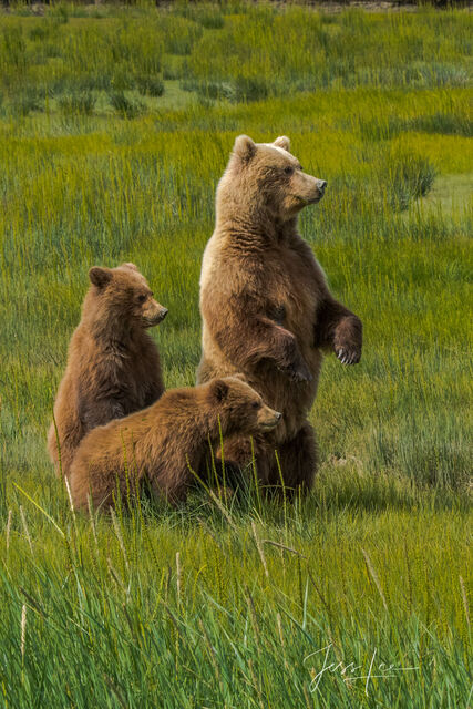 Grizzly Bears standing Photo 300