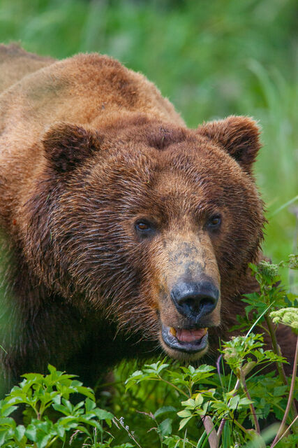 Alaska grizzly in the grass