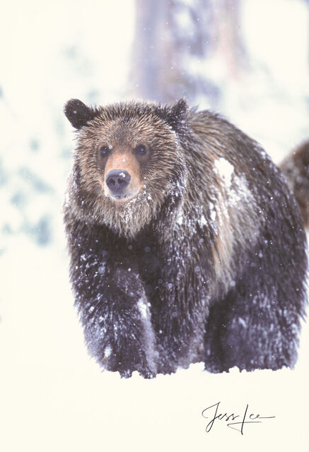 Grizzly Bear Spring Snow