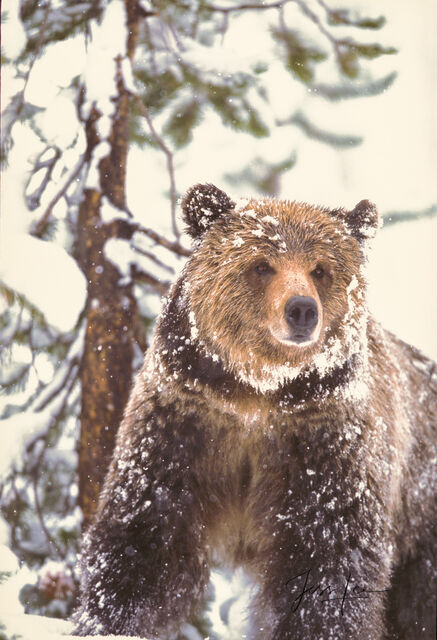 Yellowstone Grizzly in Snow