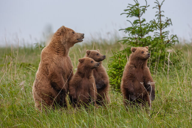 Alert Grizzly Family standing