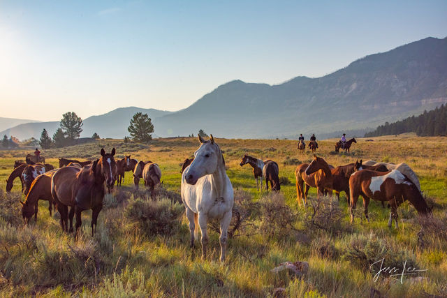 Saddle horses grazing before the roundup