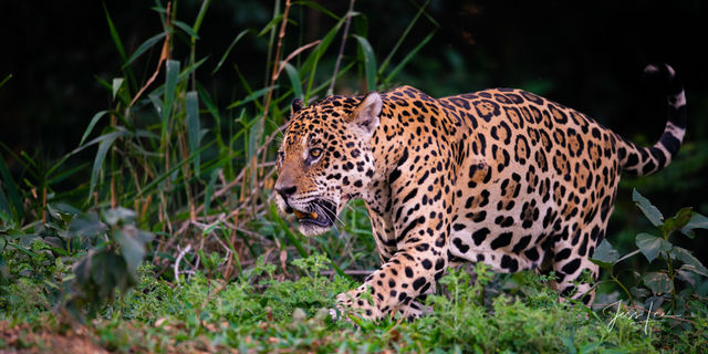 Wild Cat Wildlife Photography