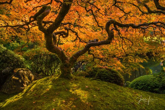 The Emperor | Japanese Maple