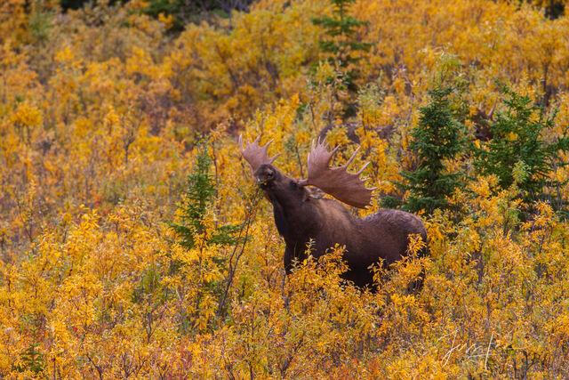alaska, alaska range autumn, denali, moose arctic, Moose, print, fine art, mammals, photograph, photo, wilderness,