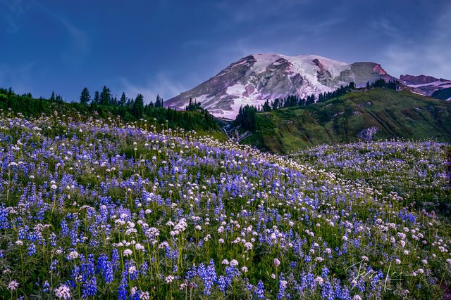 photo of Mount Rainier, mountain photography, outdoor images, lupine field, flowers, spring, fine art, Washington, Pacific Northwest, PNW