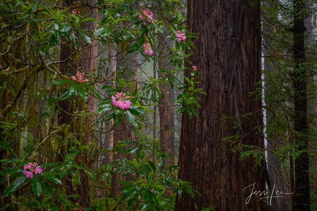 Redwood Tree Pictures | Landscape Photography Prints