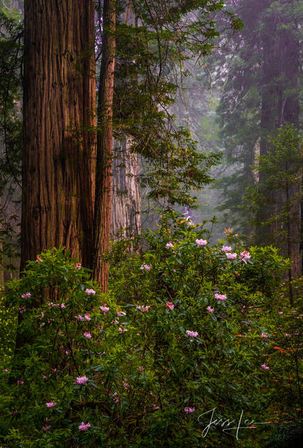 Rhododendrons and vertical redwoods in the Redwood Forest.