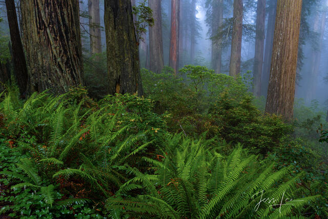 Rhododendrons and redwoods from the Redwood Forest.