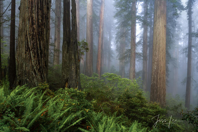 Foggy Rhododendrons and redwoods in the Redwood Forest.