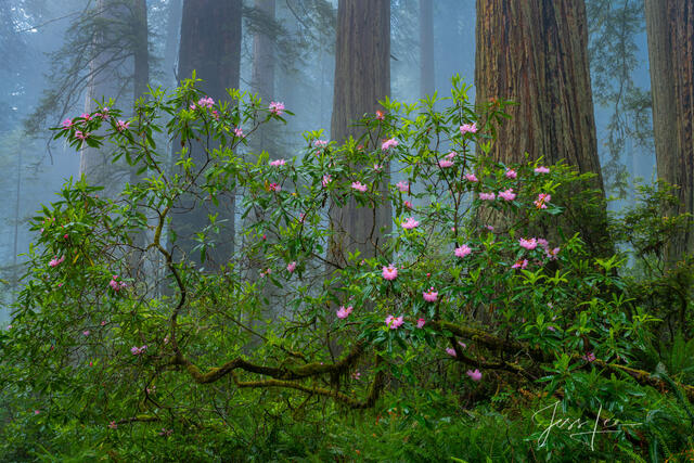Rhododendrons and redwoods in the misty Redwood Forest.