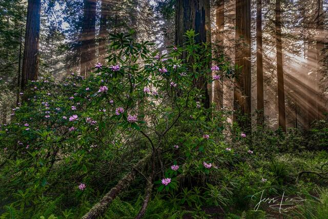 Rhododendrons and redwoods in the Redwood Forest.