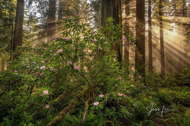 Light beams streak through the massive Redwood Trees showing off the beautiful Rhododendrons, redwoods, trees, flowers, north coast, California, beautiful, fine art, collectable, photography, jess lee
