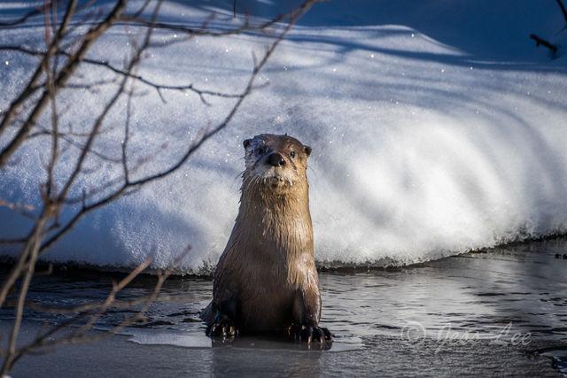 Seasons Greetings | Teton River Otter