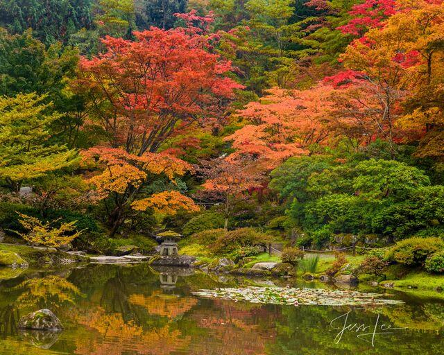 Reflecting Autumn Maples