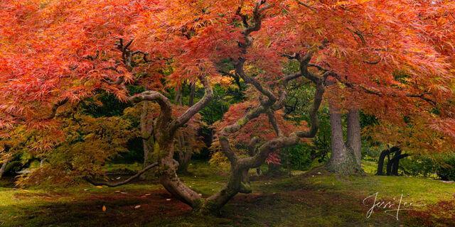 The Gathering Japanese Maple