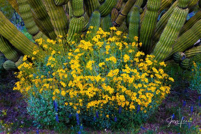 Arizona, desert, eco, eco travel, flowers, hot, national monument, organ pipe, recreation, retinement, sonoran, spring, tourism, Large format, quality, museum, fine art, print, jess lee, artist, weste