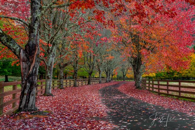 photo of autumn driveway in Washington, red autumn leaves, trees, wilderness, Pacific Northwest, PNW, nature photography, fine art prints, Washington photographer