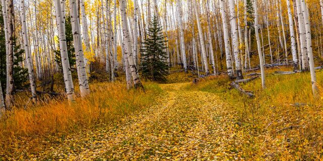 Autumn in the Aspen Grove