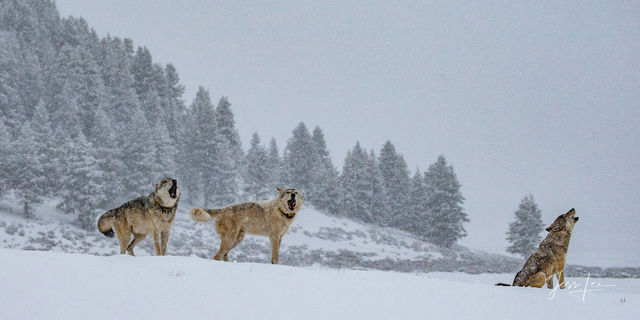 Grand Teton landscape photography, wolves, wolf pack photo, Yellowstone National Park, winter, snow, landscape, mountain photography, wildlife, wilderness, large format, quality, museum, fine art, pri