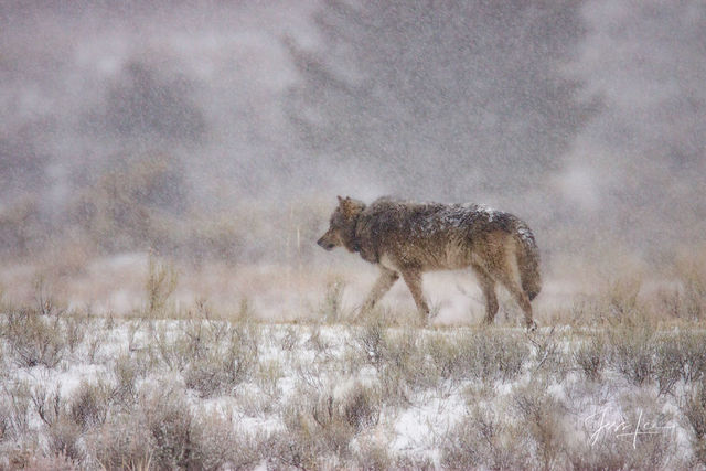 Picture of a Wolf in winter