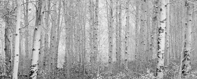 Snowy Birch Trees