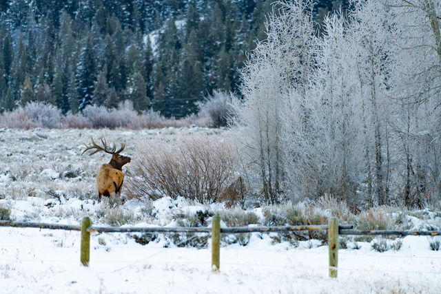 Elk in Winter Grand Tetons, Large format, quality, museum, fine art, print, jess lee, artist, western, cowboy, photographer, limited edition, high quality, high resolution, beautiful, artistic, landsc
