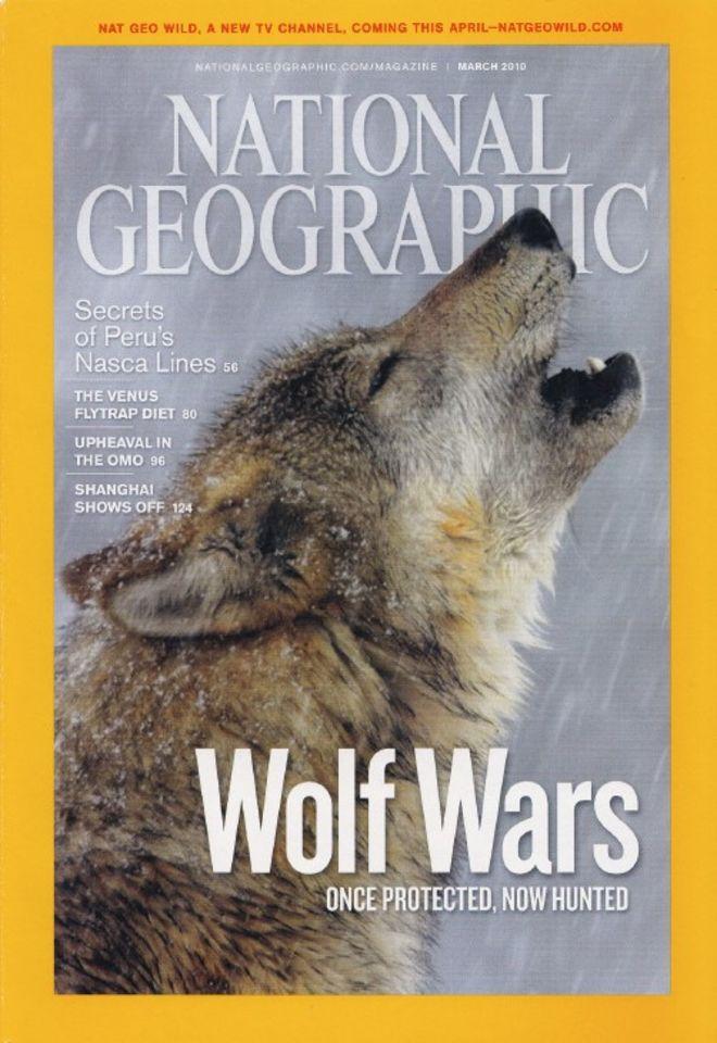 Yellowstone Wild Wolf Photography