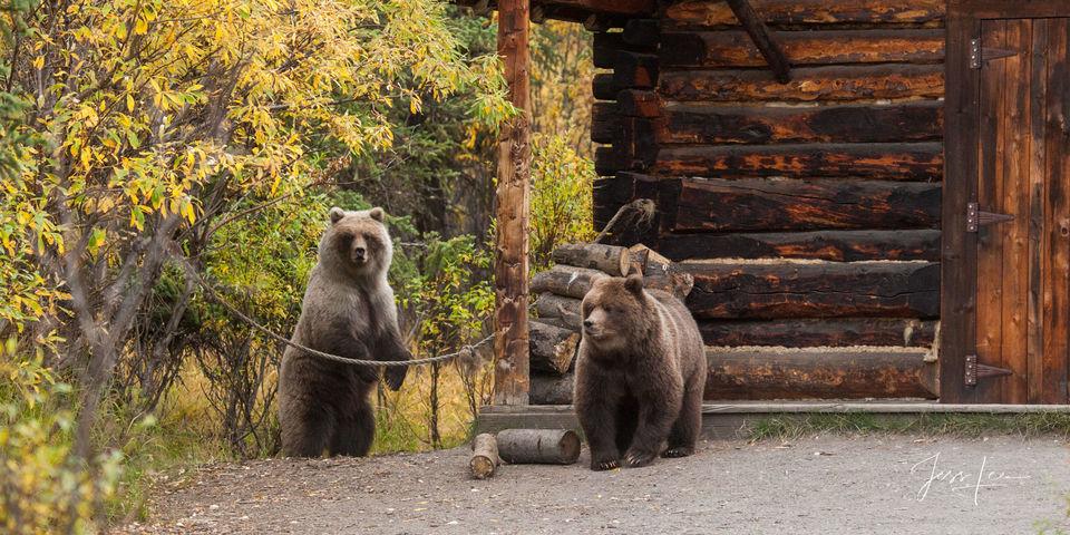 Alaska*, bear*, brown bear*, brown bears*, brown*, coastal*, cubs*, grizzlies*, Grizzly*, Jess Lee*, Cooke inlet, legendary photographer*, national park*, sow*, wildlife*, wildlife photographer*