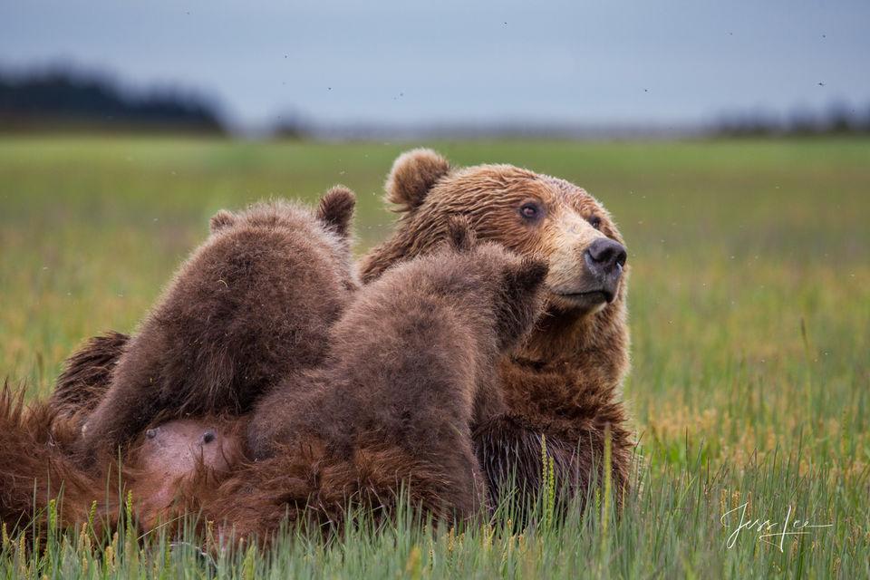 Grizzly, alaska, bear, brown, brown bear, coastal, lake clark, national park, Alaska*, bear*, brown bear*, brown bears*, brown*, coastal*, cubs*, grizzlies*, Grizzly*, Jess Lee*, Cooke inlet, legendar