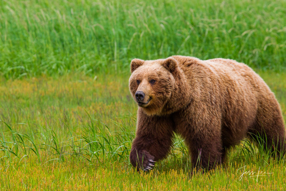 Alaska*, bear*, brown bear*, brown bears*, brown*, coastal*, cubs*, grizzlies*, Grizzly*, Jess Lee*, Cooke inlet, legendary photographer*, national park*, sow*, wildlife*, wildlife photographer*