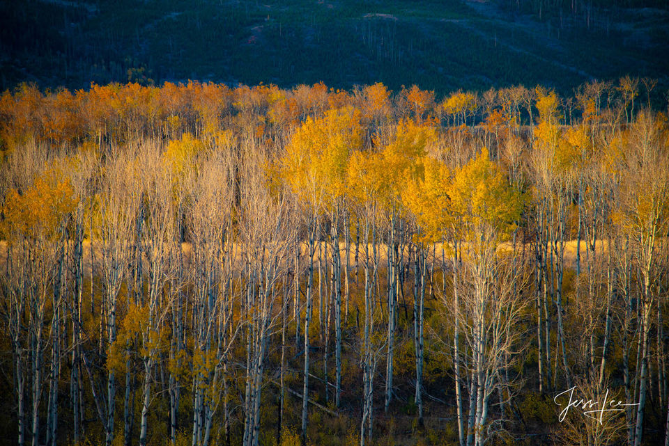 Golden Layers of Autumn Aspen Trees