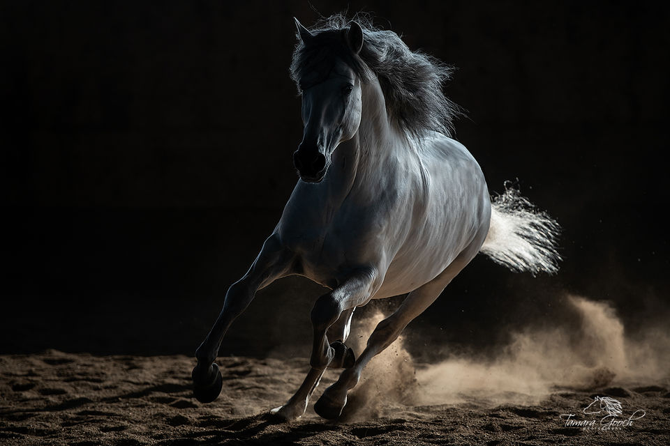 Andalusian Stallion Brio Photo EPW2_4263