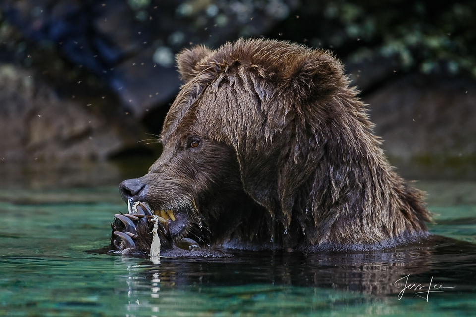 AK, Grizzly, alaska, bear, bear pictures, bears, brown, coastal, grizzlies, grizzly photos, images, katmai, photo, photography, photos, pictures, salmon, stock, landscape photography, Large format, qu