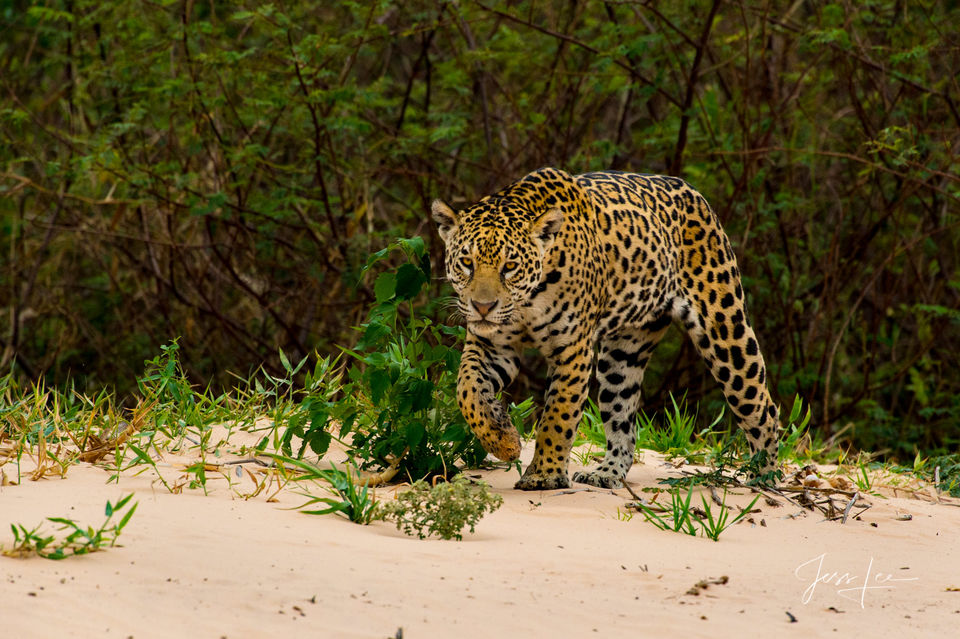 Jaguars by Wildlife Photographer Jess Lee