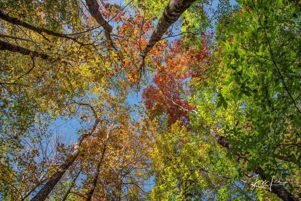 Looking up at New England Autumn trees photography,