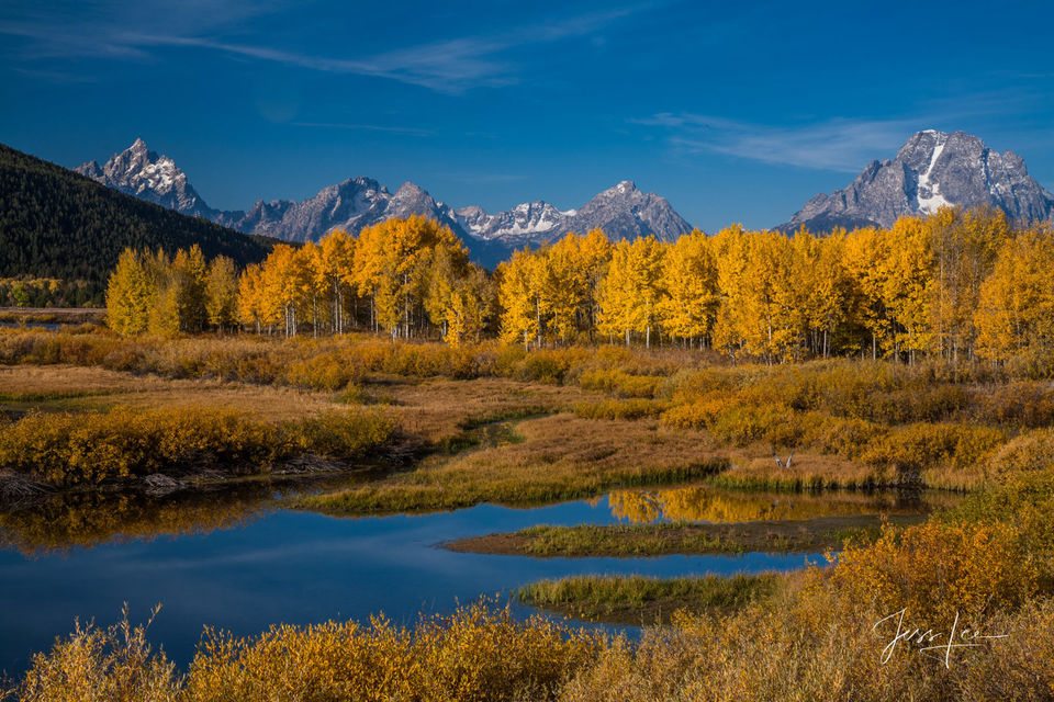 Cottonwood trees and Tetons
