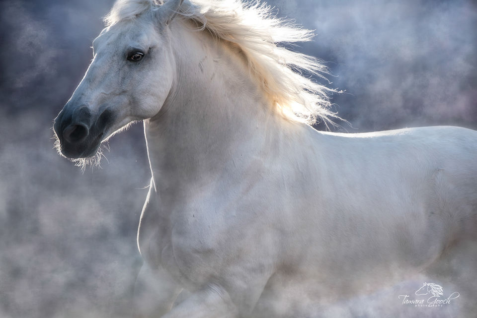 Fine Art Print of a Lusitano Stallion