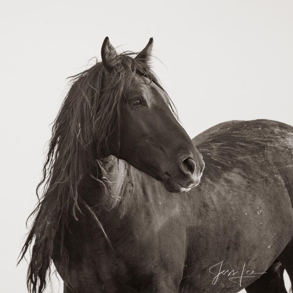 Black and White Wild Horse Stallion Photo