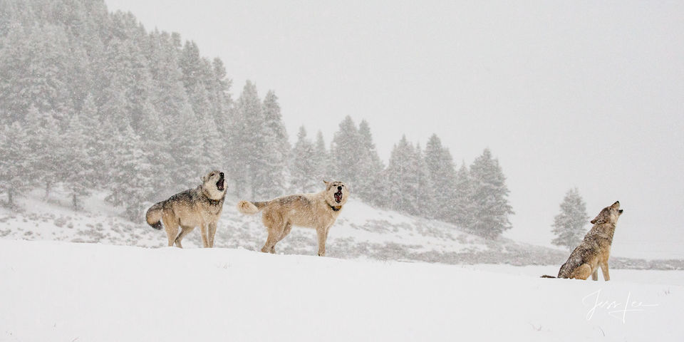 Yellowstone wolves Howling for the Pack's Return