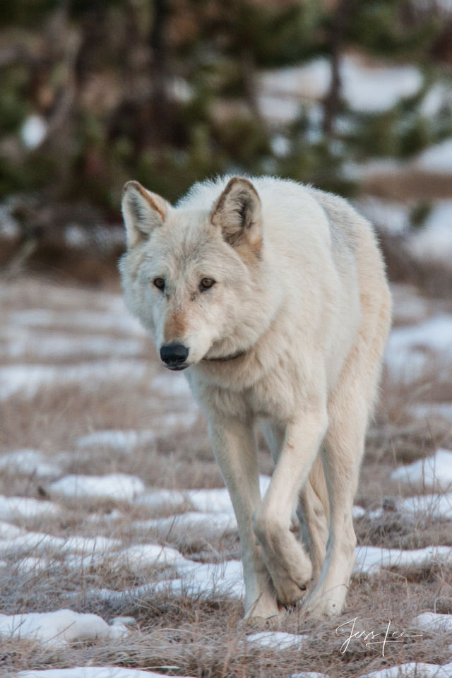 Wolf, wolves, Wild, Yellowstone, pack, reintroduction, hunter, hunting, kill, jess lee, wildlife photographer, National Geographic, great, legendary photographer, best wolf photographer, best wild wol