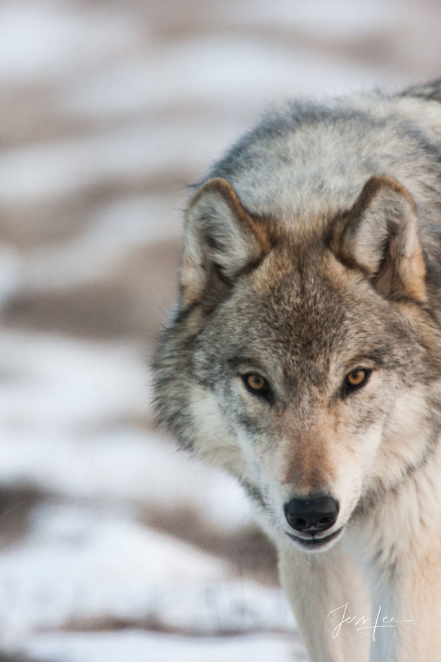 Closeup Picture of a Wolf