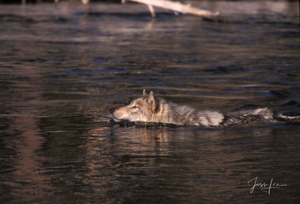 Yellowstone, Wild Wolf, wild, pack, , Wolf, wolves, reintroduction, hunter, hunting, kill, jess lee, wildlife photographer, National Geographic, great, legendary photographer, best wolf photographer,
