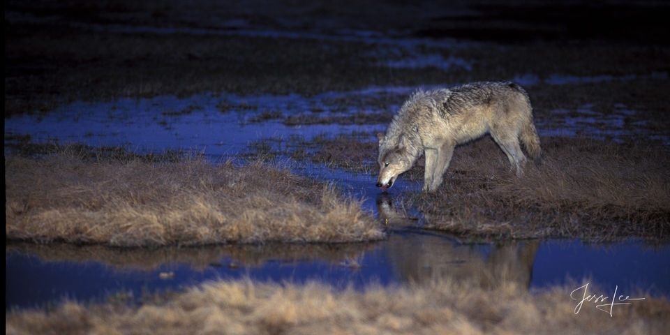 Yellowstone Wolf, predator, wild, pack, wolves, great photography, wildlife photographer, jess lee, legendary, , Wolf, Yellowstone, reintroduction, hunter, hunting, kill, National Geographic, great, l