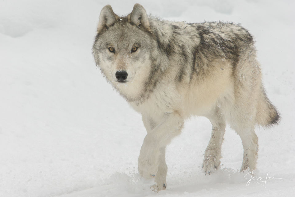 Wolf, wild wolf, wolf, grey, gray, wolves, pack, yellowstone, Wild, reintroduction, hunter, hunting, kill, jess lee, wildlife photographer, National Geographic, great, legendary photographer, best wol