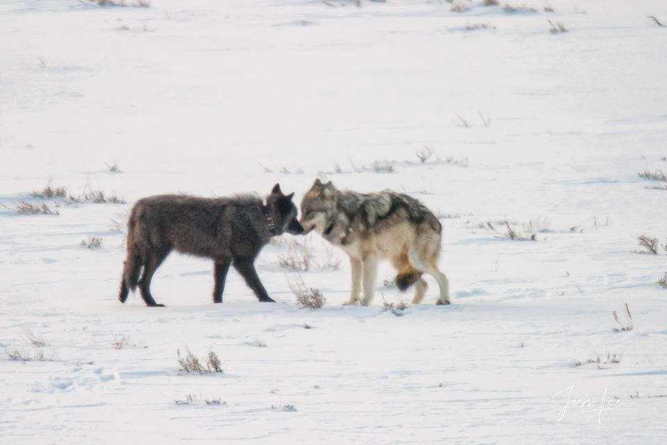 Wolf, wild wolf, yellowstone, wolves, Wild, pack, reintroduction, hunter, hunting, kill, jess lee, wildlife photographer, National Geographic, great, legendary photographer, best wolf photographer, be